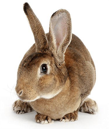 Pet Rabbit on White Background